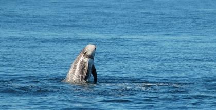 Risso dolfijn in Monterey Bay
