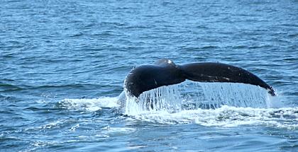 Fluke van een Humpback Whale in Monterey Bay